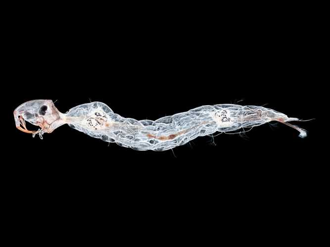 Phantom Midge Larva